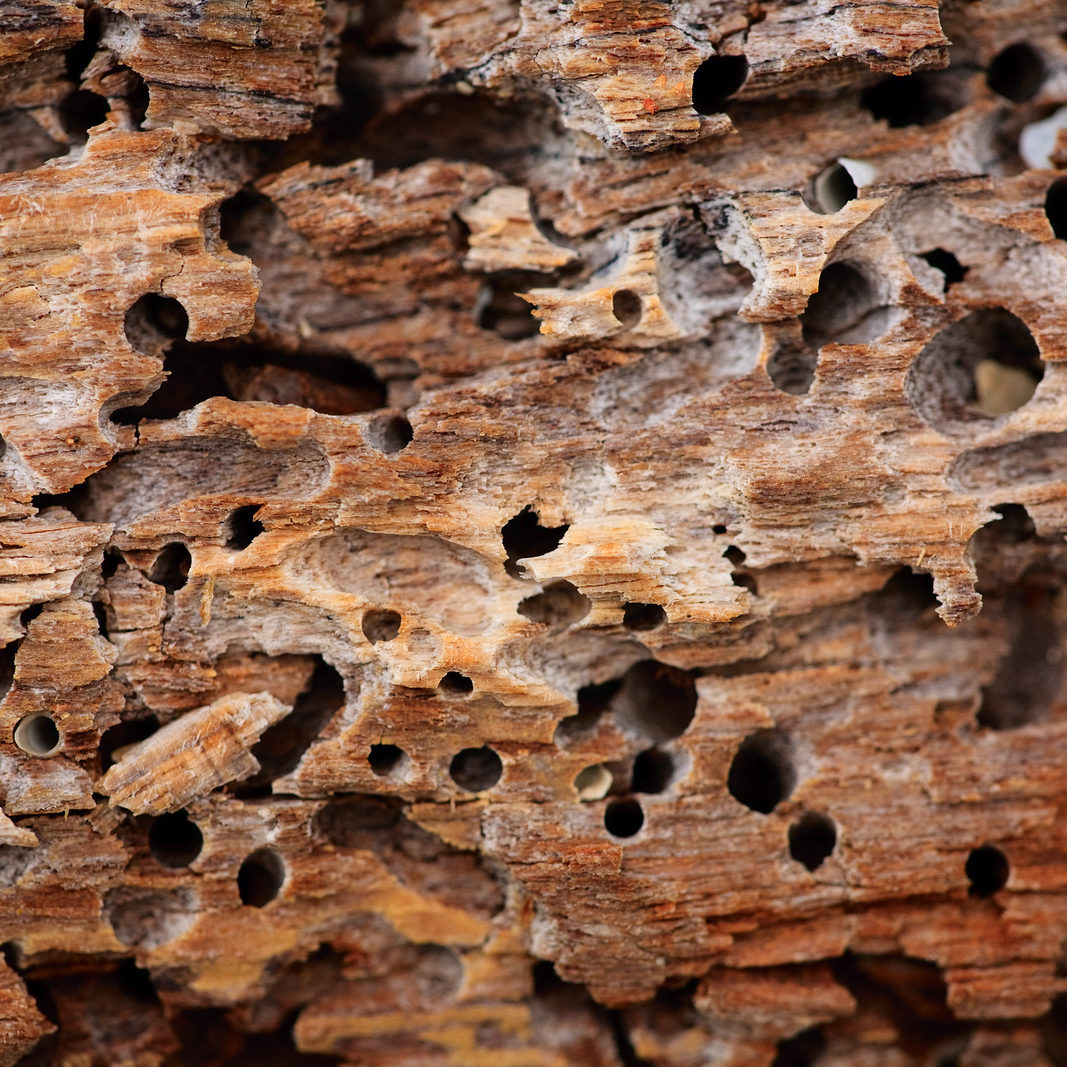 Close up of wooden texture background with termite holes